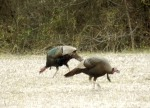 When mating season arrives, anywhere from February to April, courtship usually begins while turkeys are still flocked together in wintering areas.