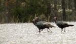 Turkeys can run at speeds up to 25 mph, and they can fly up to 55 mph.