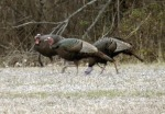 Turkeys foraging in agricultural areas in the fall and spring eat mostly waste grains, wild plants, insects, and young grasses.