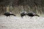 The diet of an adult wild turkey includes about 90 percent plant matter and 10 percent animal matter.