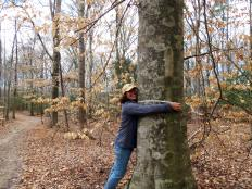Kate Daniels measures the diameter of the tree.