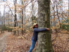 Kate Daniels measures the diameter of the tree.