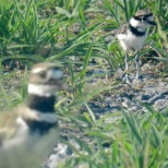 web_Killdeer-(2)