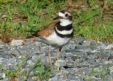 Killdeer have the characteristic large, round head, large eye, and short bill of all plovers. They are especially slender and lanky, with a long, pointed tail and long wings.