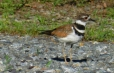 Killdeer get their name from the shrill, wailing kill-deer call they give so often. Eighteenth-century naturalists also noticed how noisy Killdeer are, giving them names such as the Chattering Plover and the Noisy Plover.
