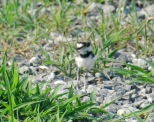 web_Killdeer-(3)