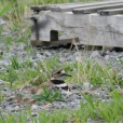 Look for Killdeer on open ground with low vegetation (or no vegetation at all), including lawns, golf courses, driveways, parking lots, and gravel-covered roofs, as well as pastures, fields, sandbars and mudflats. This species is one of the least water-associated of all shorebirds.