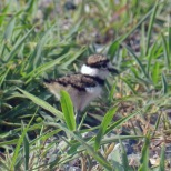 web_Killdeer-(4)