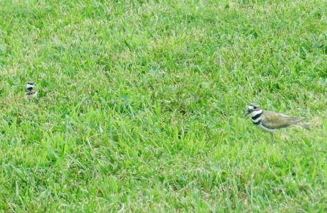 Web_killdeer-mom-and-baby