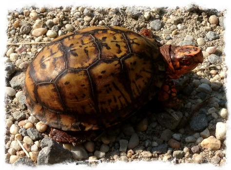 Eastern box turtles have a high, dome-like carapace and a hinged plastron that allows total shell closure. The carapace can be of variable coloration, but is normally found brownish or black and is accompanied by a yellowish or orangish radiating pattern of lines, spots or blotches.