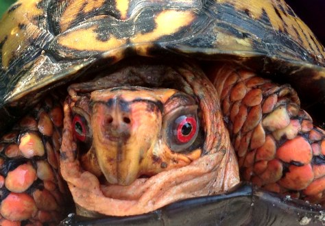 Males normally possess red eyes (irises) whereas females usually display brown eyes.  In the wild, box turtles are known to live over 100 years, but in captivity, often live much shorter lives.