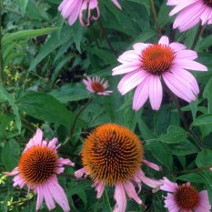 Eastern purple coneflower, or Echinacea purpurea. It's cone-shaped flowering heads are usually, but not always, purple.