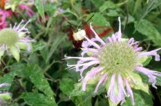 Have you ever tried to take a picture of a hummingbird moth? They don't hold still at all.