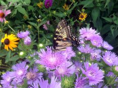 The Menokin butterfly garden, under the care of the Northern Neck Master Naturalists, is gorgeous this year. Full and lush, it is a nectar smorgasbord for our winged friends.