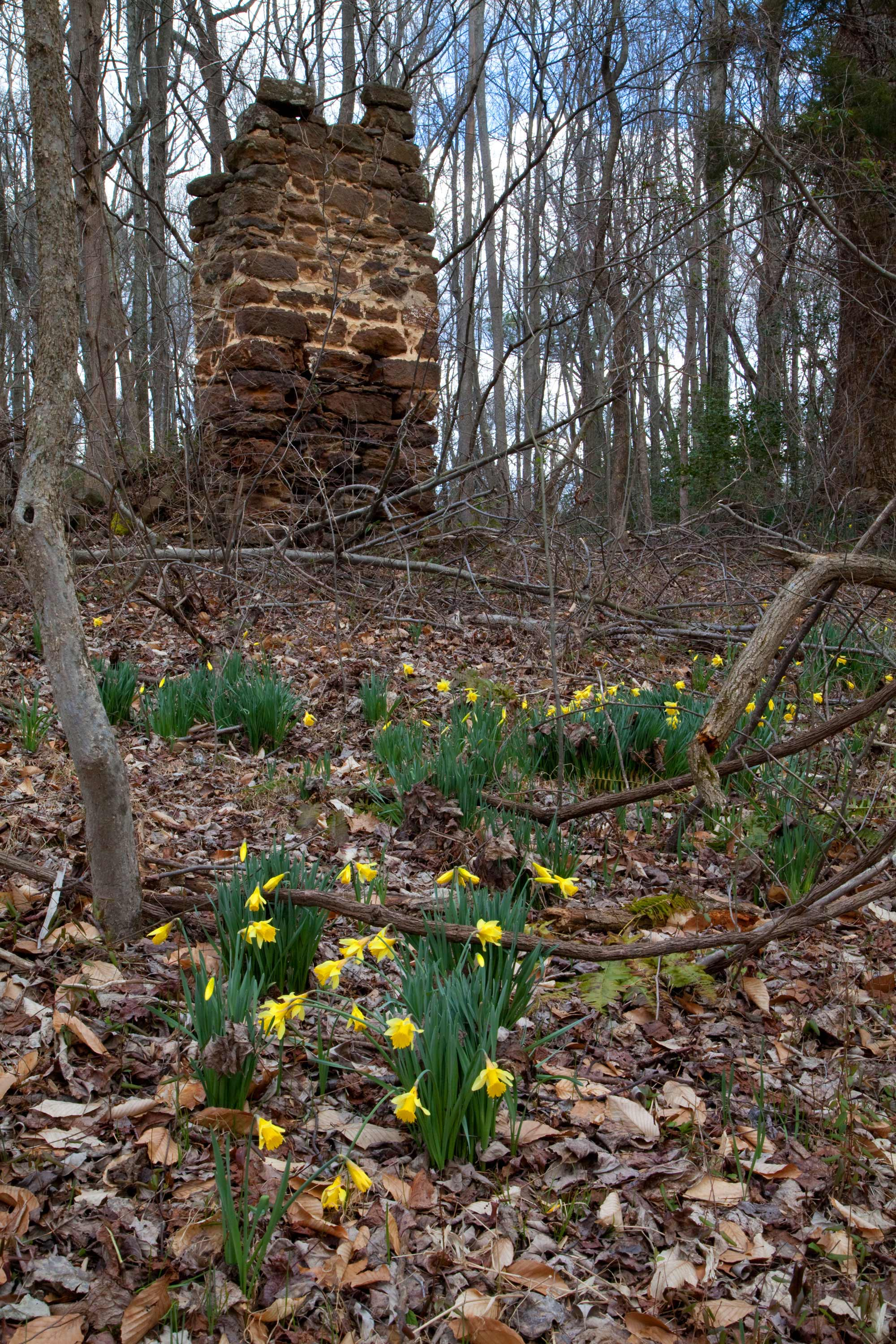 Chimney and daffodils