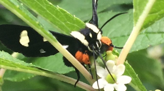 Bug of the Week – Eight-spotted Forester Moth