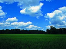 Blue sky and green wheat