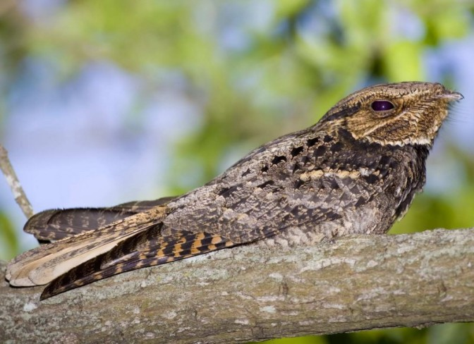 Whippoorwill or Whippoorwon't?